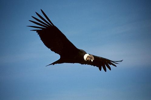 Condor Chumpi