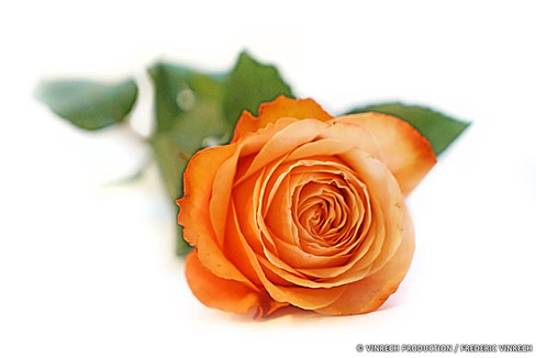 ROSE EQUATEUR - 02.jpg