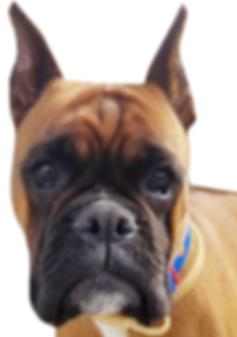 washington, boxer, rescue, adopt, foster, volunteer, donate, educate