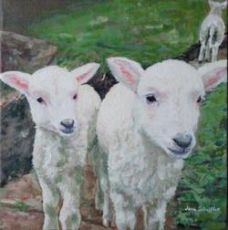 welsh lambs 001