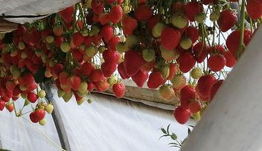 Stawberries.jpg