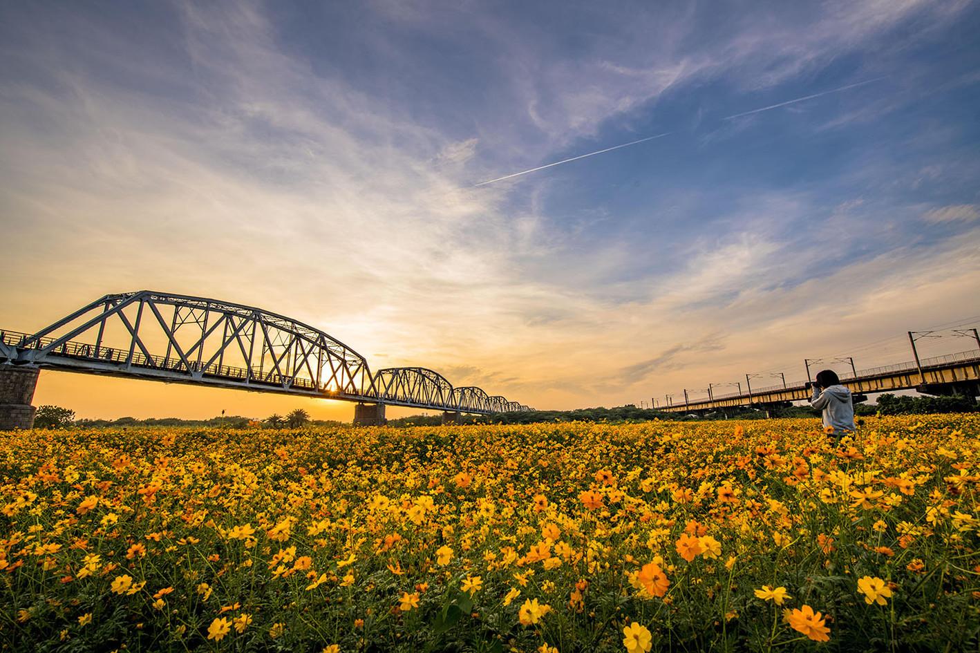 黃榮群-黃波斯菊-下淡水溪鐵橋