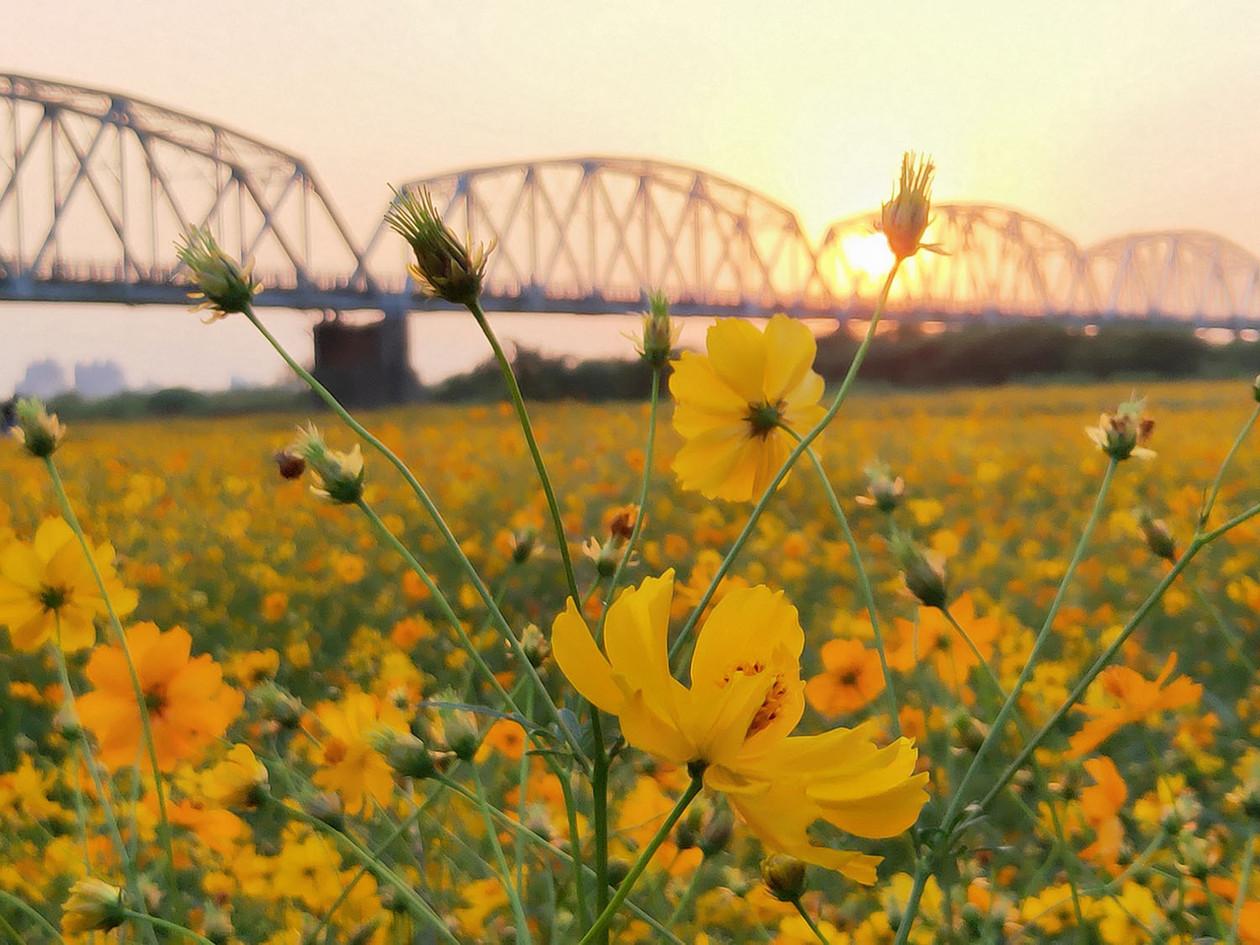 羅金連-黃波斯菊-下淡水溪鐵橋