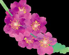 紫薇.png