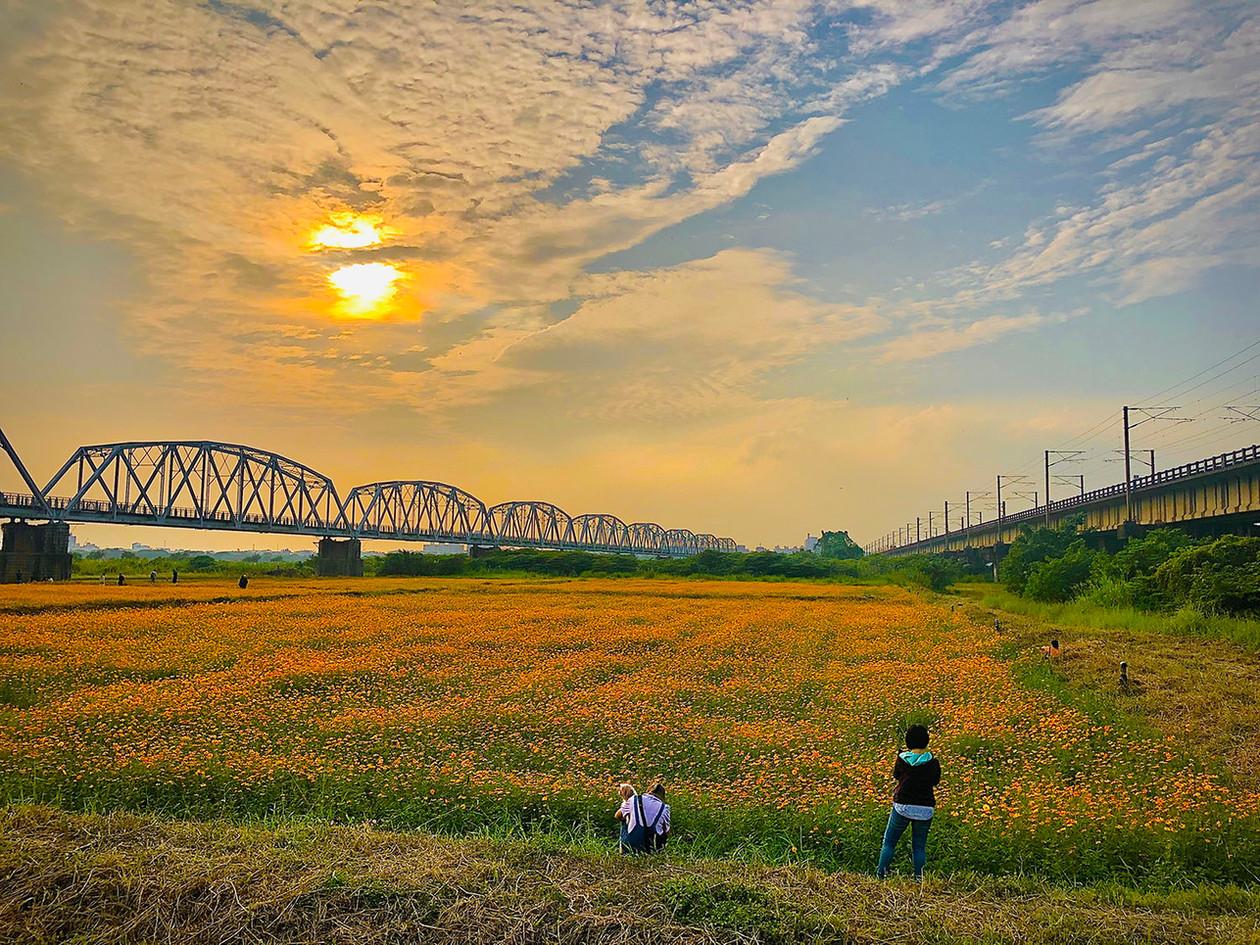 黃婉婷-黃波斯菊-下淡水溪鐵橋