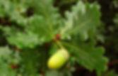 quercus-robur-le-azinovjev.jpg