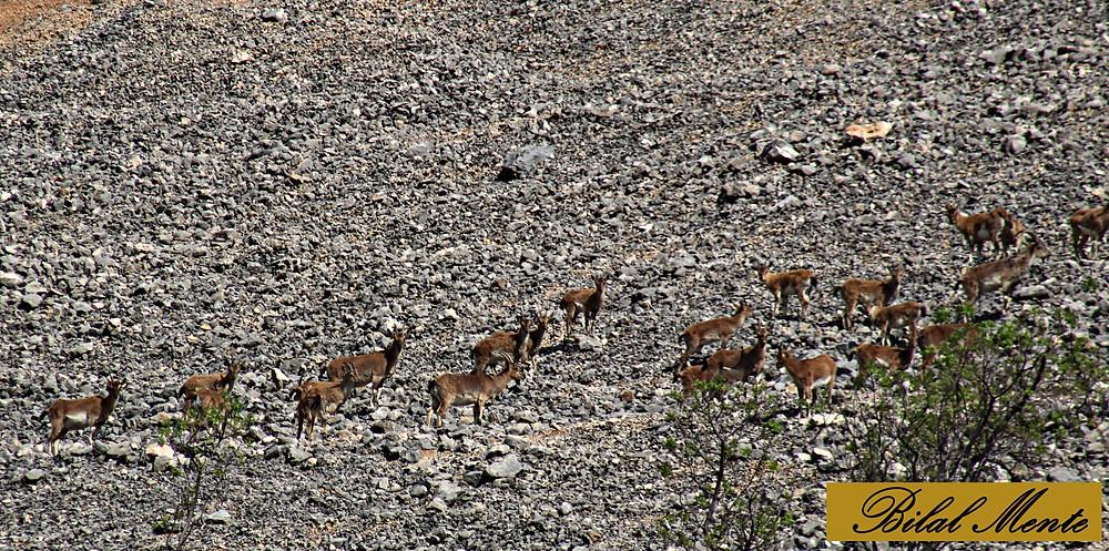 Nemrut Dağı Milli Parkında dağ keçileri