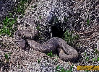 Engerek yılanlarının
