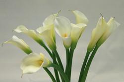 263607-calla-lily