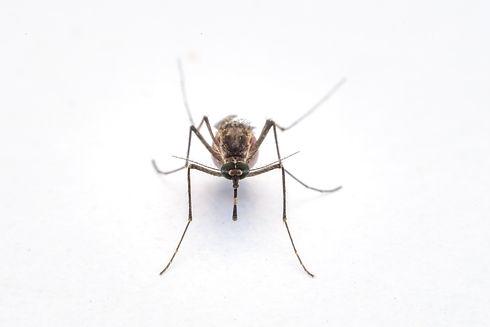 Dangerous Zica virus aedes  mosquito on white background.jpg