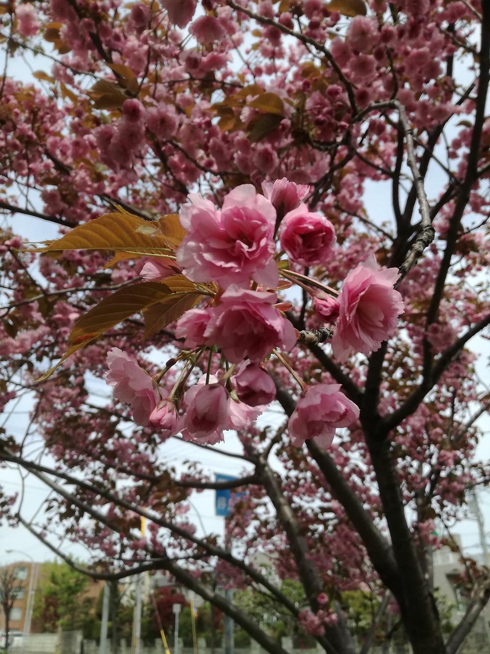 北24条 桜