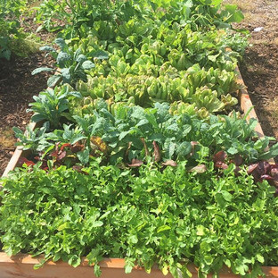Photo I received from client today pleased with how well the raised bed is producing #arugula#beets#kale#lettuce#tomatoes#cucumber#allorgani