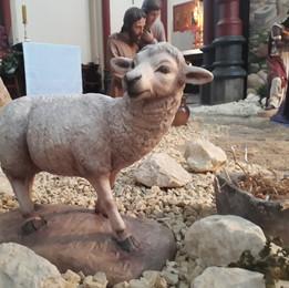 schaap 1