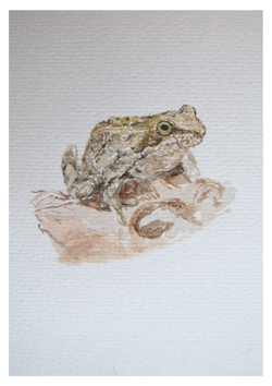 Toad (watercolour) 2015