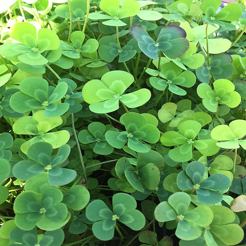 water-pond-plants-var-4leafclover-64_100