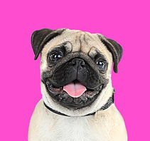 Funny, cute and playful pug dog on pink
