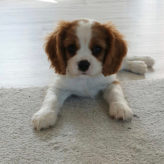 Puppy Angus.