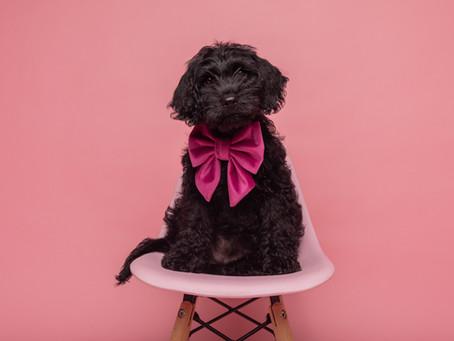 Labradoodle Puppy Heaven