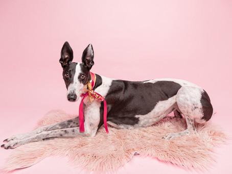 Greyhound photographer in Sydney