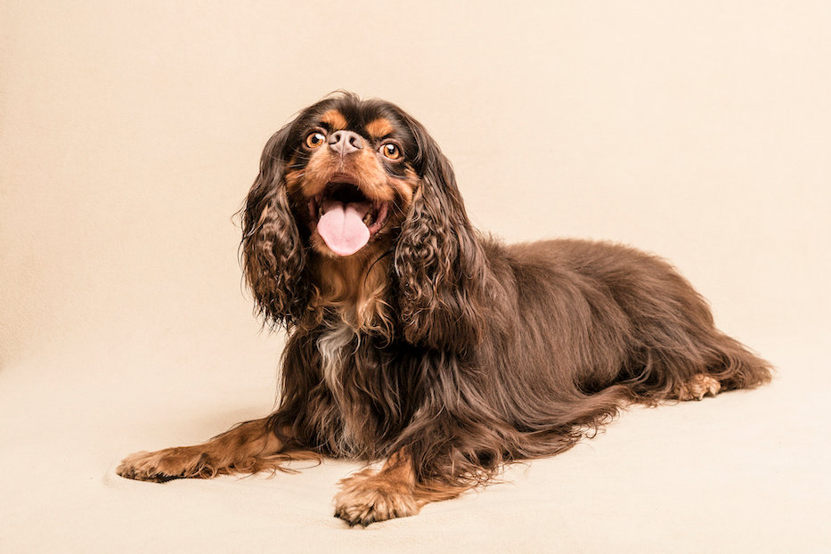 cavalier studio pet photographer
