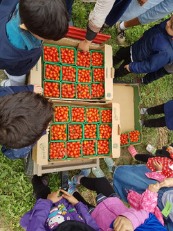 Forsythe Family Farms Trip: Picking Cherry Tomatoes