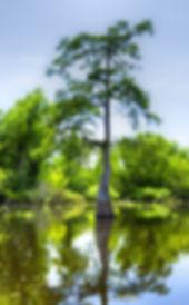 Louisiana Cypress Trees