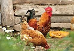 julie chicken 19.jpg