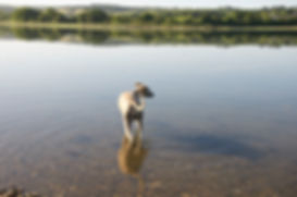 Image of a whippet paddling in the estuary, with water rippling around him.