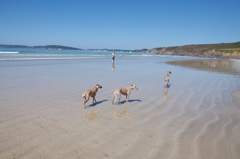 Image of 3 dogs on deserted, sandy Kersigenou beach in Brittany