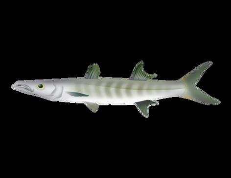 Barracuda del Pacífico