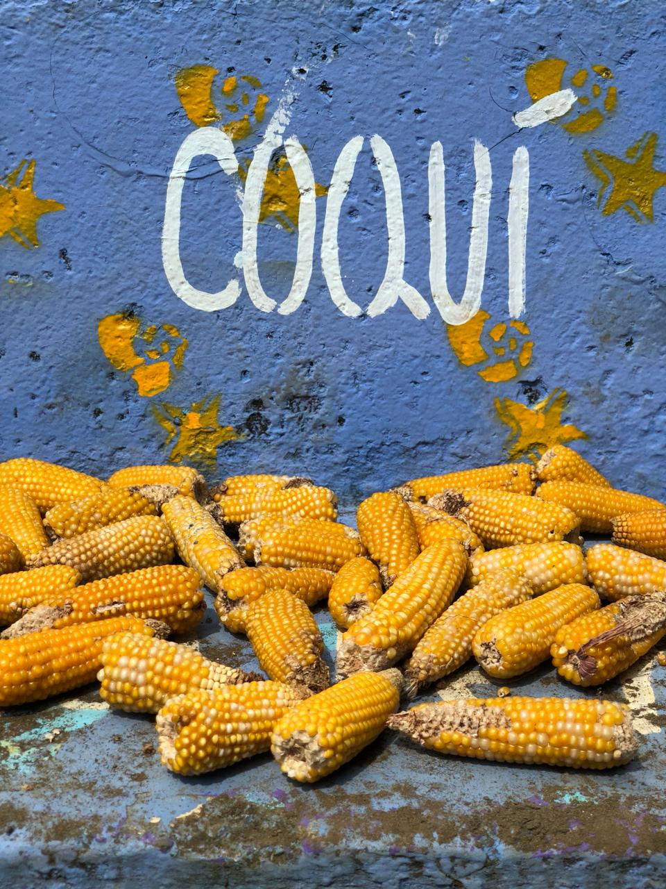 Coquí Chocó