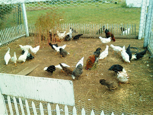 Chickens on Farm.jpg