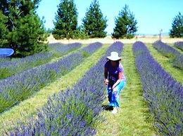 Washington Lavender farm Spokane.jpg