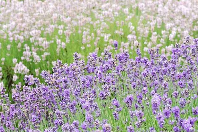 lavender spokane 1.jpeg
