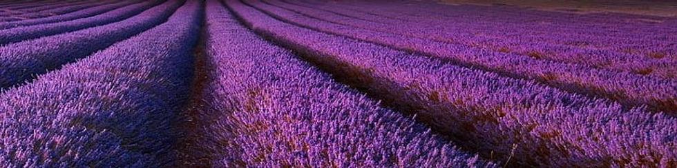 lavender farm in Spokane.jpg