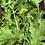 Thumbnail: Katie's Mustard Lettuce