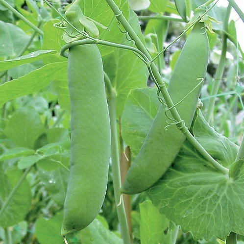 Champion of England Pea