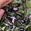 Thumbnail: Roughwood Guillet Pepper