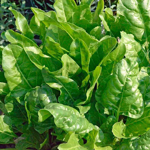 Perpetual Spinach Leaf Beet