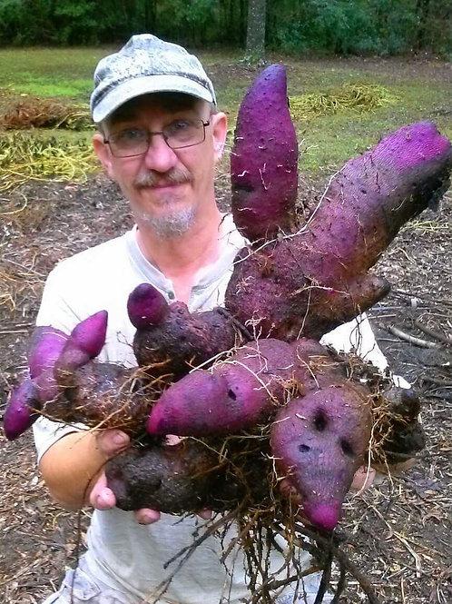Purple Ube Yam