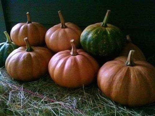 Homesteader's Seminole Pumpkin
