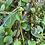 Thumbnail: Malabar Spinach