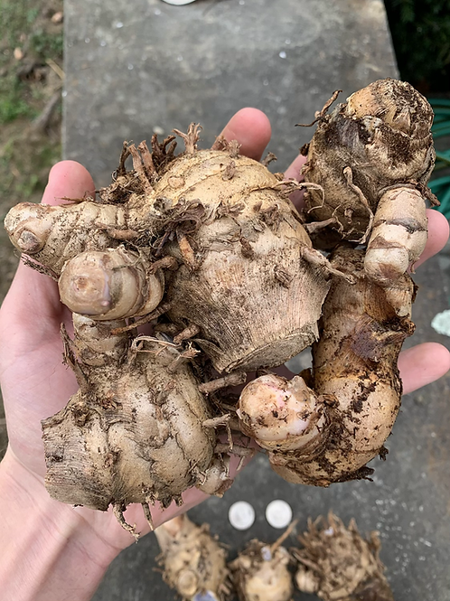 Blue Turmeric (LARGE ROOTS)