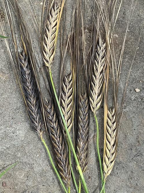 Nigri-Nudum Black Barley