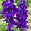 Thumbnail: Blue and Purple Larkspur