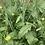 Thumbnail: Cape Greco Mustard