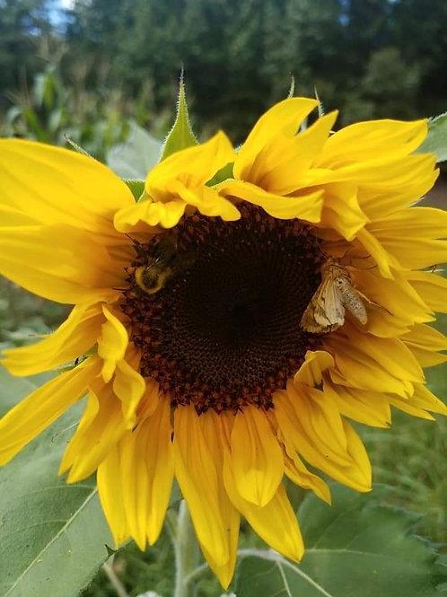 Scott's Mixed Sunflower