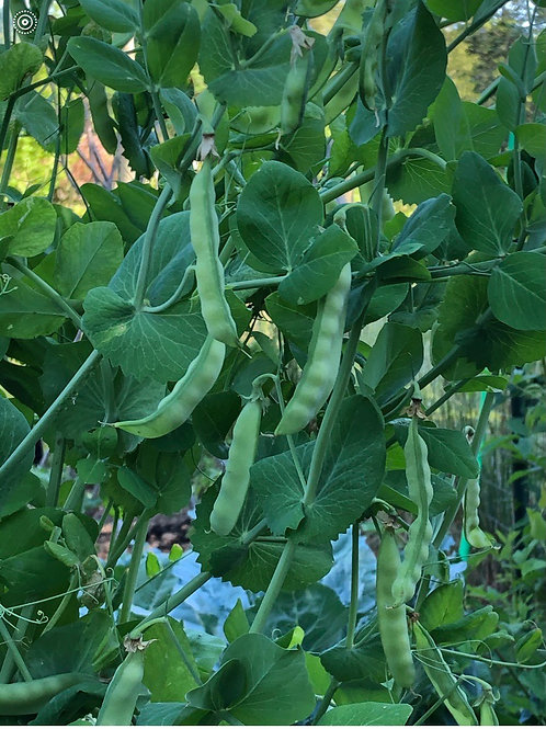 White Scimitar Pea