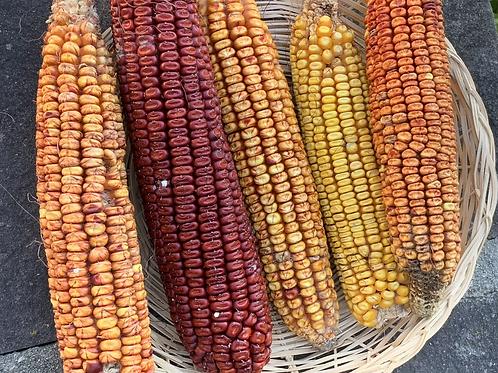 Brindle Corn