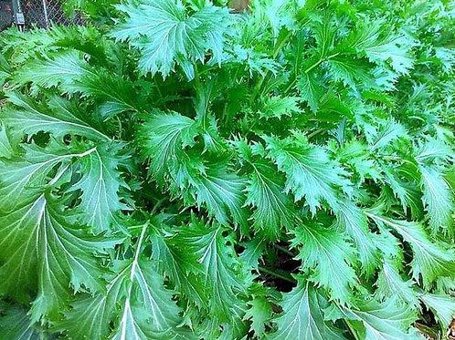 Wide Leaf Mizuna